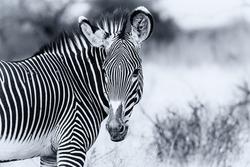 Grevy's Grévy's zebra close up portrait of head face, endangered wildlife in Samburu National Reserve, Kenya, Africa. Black and white stripes, monochrome image