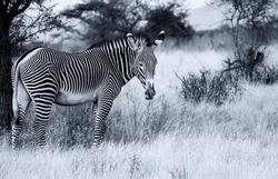 Grevy's Grévy's zebra, endangered wild animal, on dry savannah in Samburu National Reserve, Kenya, Africa. Black and white monochrome, striped pattern, side view