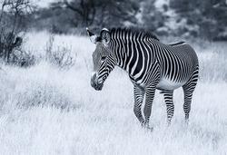 Grevy's Grévy's zebra, endangered wild animal, walking on dry scrub in Samburu National Reserve, Kenya, Africa. Black and white monochrome, striped pattern, side view
