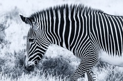 Grevy's Grévy's zebra, threatened species, close up head profile and mane showing striped pattern. Samburu National Reserve, Kenya, Africa. Black and white monochrome, side view
