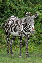 Grevy's zebra (Equus grevyi) in zoo; portrait