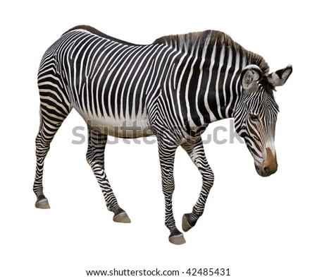 Grevy zebra (Equus grevyi) walking isolated on the white background