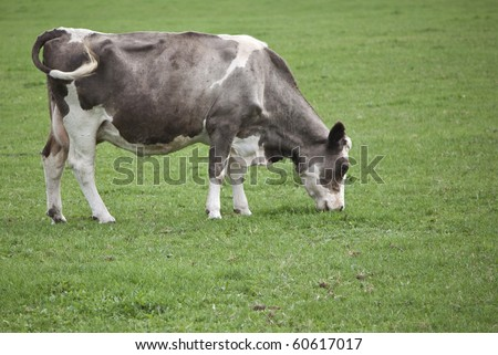 grey and white cow grazing in field