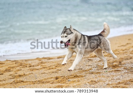 grey and white siberian husky...