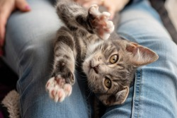 Grey and white tabby kitten laying in a lap, looking into the camera, paws up towards the camera