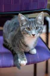 Grey and white tabby kitten sitting on a purple chair, looking into the camera