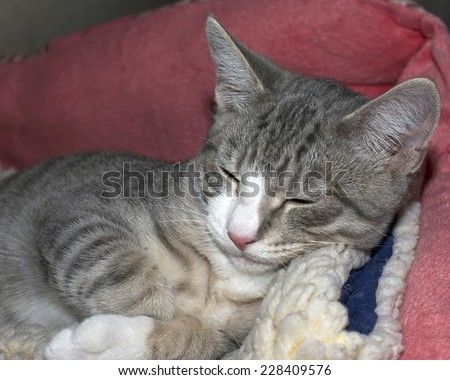 Grey and white tabby kitten sleeping on sheep skin in a pink bed