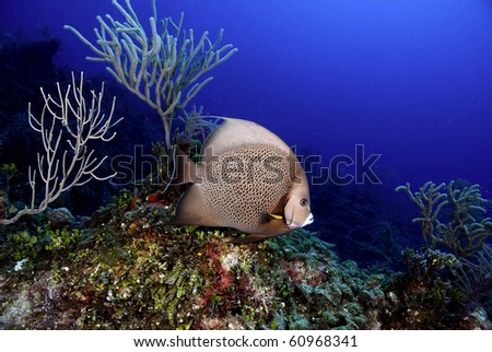 Grey Angelfish over coral reef
