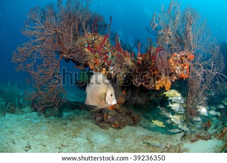 Grey Angelfish reef scene