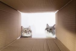Grey beautiful cat, peeks into the cardboard carobka, curious pet checks interesting places. Copy space.