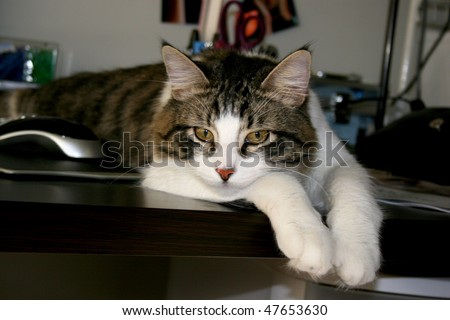 grey, black white tabby cat laying on computer desk resting with head down looking forward