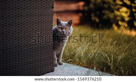 Grey british cat in the grass in garden.  Zdjęcia stock ©