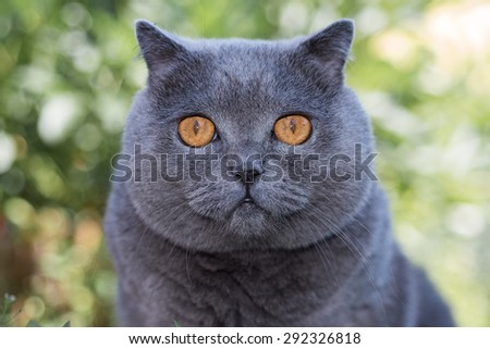 Grey british cat lying in the green grass, background, cute funny cat close up, young playful cat on a bed, domestic cat, relaxing cat, cat resting, cat playing at home, elegant cat