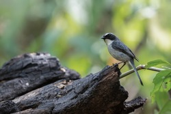 Grey bush chat (Saxicola ferreus) male bird perching on burnt log in post fire forest, Chiang mai, Thailand. Grey bush chat after forest fires