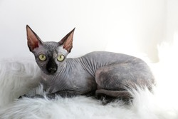 Grey Canadian mink point sphynx cat sitting on a furry blanket. Beautiful purebred hairless kitten with yellow eyes. Natural light. Close up, copy space, background.