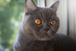 grey cat animal scottish cute cat sweet
