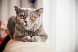 grey cat animal scottish cute cat sweet