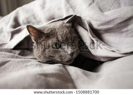 Grey cat in grey linen bed sheets #1508881700