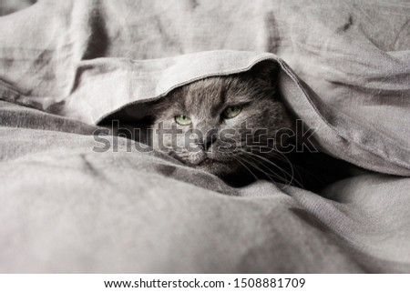 Grey cat in grey linen bed sheets #1508881709