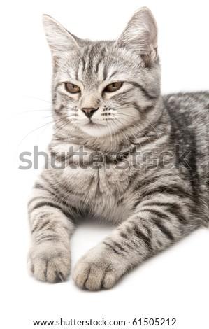 Grey cat, isolated on white