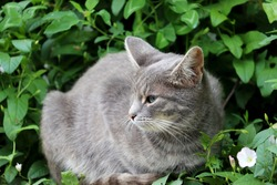 Grey cat laying on a summer grass. Portrait of kitten looking into the distance