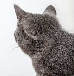 Grey cat looking back, neutral background