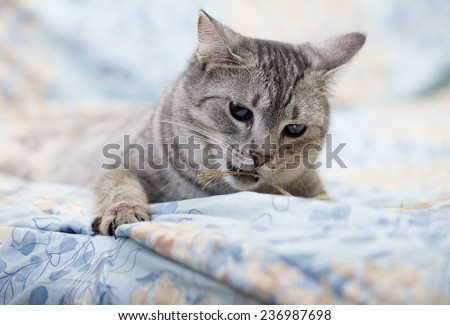 Grey cat lying on bed, playing kitten over blur background, angry cat, playing cat, cat on a bed