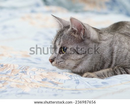 Grey cat lying on bed, playing young kitten over blur background, cat ready to jump, curious cat