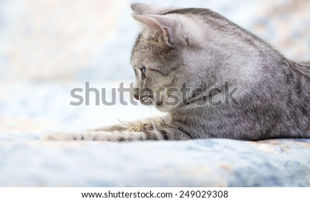 Grey cat lying on bed, tired kitten over blur background, dreaming cat, kitten, cat, domestic cat desaturated photo
