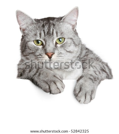 Grey cat on a banner, isolated on white background