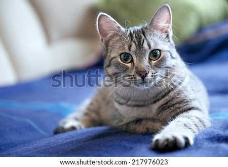Grey cat on a sofa close up, portrait of little curious cat, grey cat, domestic animal at home, cat at home, young curious cat