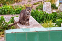 Grey cat on the one of the graves in muslim cemetery in Tetouan. Northern Morocco.