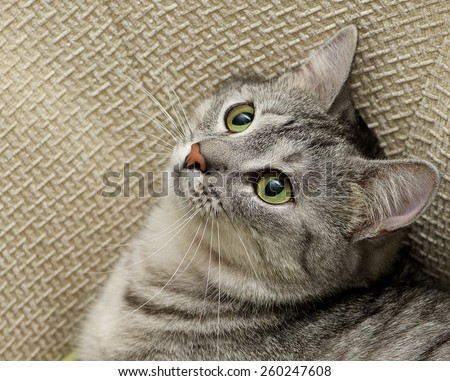 Grey cat portrait close up, domestic cat portrait, cat in romantic mood, romantic cat, domestic animal, domestic cat in natural blurry background, cat looking up, square photo