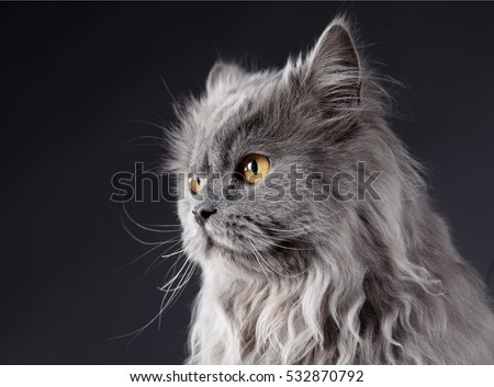 Grey cat portrait in studio with dark background