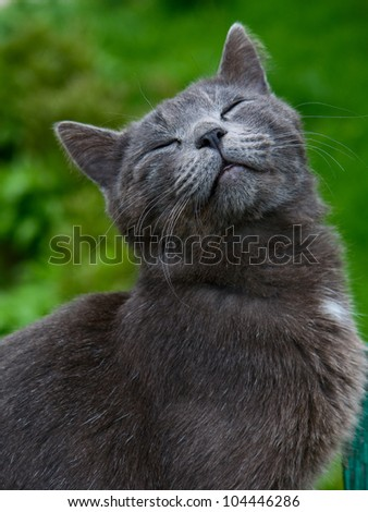 Grey cat purrs with pleasure his eyes closed