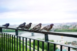 Grey city birds pigeons sit and rest in a group on a suspended iron bridge over the city in summer.