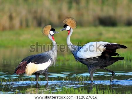 Shutterstock Grey Crowned Crane