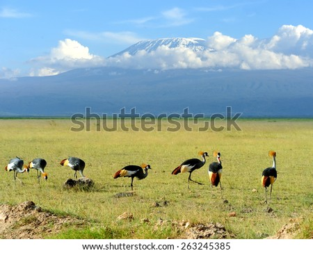 Shutterstock Grey Crowned Crane Balearica regulorum gibbericeps