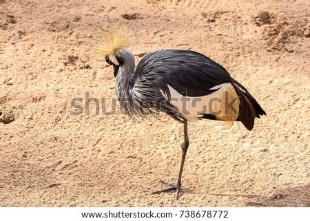 Shutterstock Grey Crowned Crane, Crane crowned gray neck, Balearica regulorum, Gruidae, Gruiformes, Bird