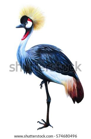 Grey Crowned Crane drawing (Balearica regulorum)