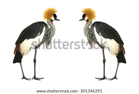 Shutterstock Grey Crowned Crane isolated on white background.