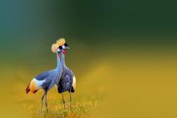 Grey Crowned Crane, the national bird of Uganda