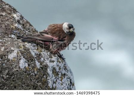 Grey-crowned Rosy-Finch (Leucosticte tephrocotis maxima) St. George Island, Pribilof Islands, Alaska, USA #1469398475