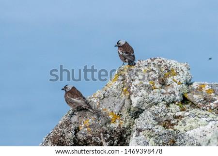 Grey-crowned Rosy-Finch (Leucosticte tephrocotis maxima) St. George Island, Pribilof Islands, Alaska, USA #1469398478