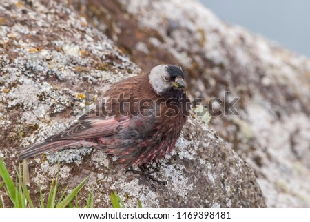 Grey-crowned Rosy-Finch (Leucosticte tephrocotis maxima) St. George Island, Pribilof Islands, Alaska, USA #1469398481