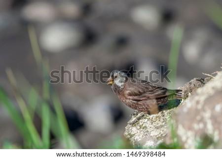 Grey-crowned Rosy-Finch (Leucosticte tephrocotis maxima) St. George Island, Pribilof Islands, Alaska, USA #1469398484