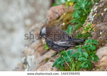 Grey-crowned Rosy-Finch (Leucosticte tephrocotis maxima) St. George Island, Pribilof Islands, Alaska, USA #1469398490