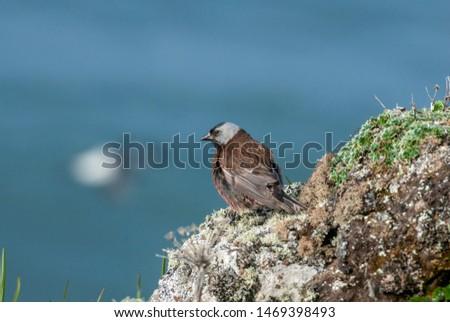 Grey-crowned Rosy-Finch (Leucosticte tephrocotis maxima) St. George Island, Pribilof Islands, Alaska, USA #1469398493