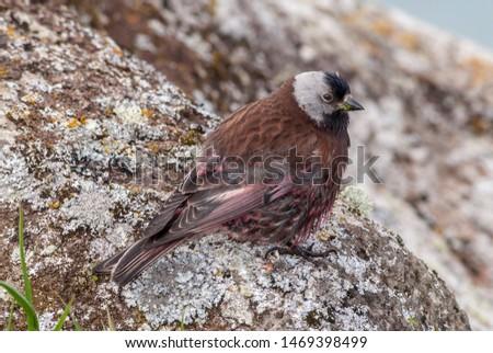 Grey-crowned Rosy-Finch (Leucosticte tephrocotis maxima) St. George Island, Pribilof Islands, Alaska, USA #1469398499