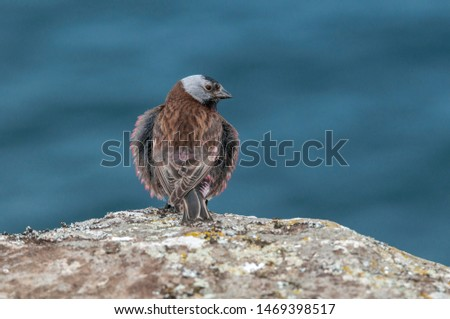 Grey-crowned Rosy-Finch (Leucosticte tephrocotis maxima) St. George Island, Pribilof Islands, Alaska, USA #1469398517